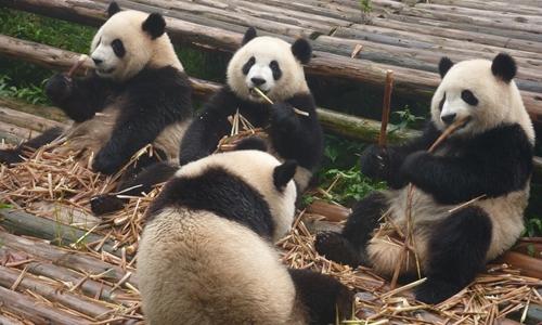 中国将建大熊猫公园 面积为美国黄石公园3倍