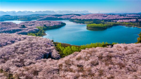 摄图网_501577303_贵州平坝万亩樱花园(企业商用).jpg